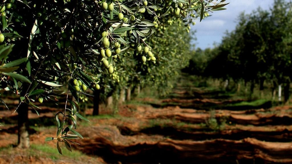 Taste the Best Olive Oil and Wine from Puglia